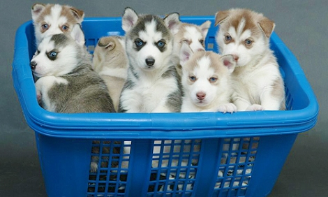 Husky-Puppies-dogs-30206519-500-300