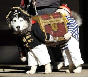 husky as a pirate