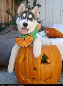 husky in pumpkin 2