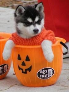 husky in pumpkin