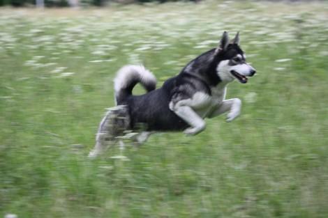 running huskies