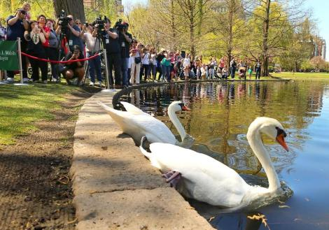 romeo and juliet swans