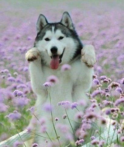happy husky 3