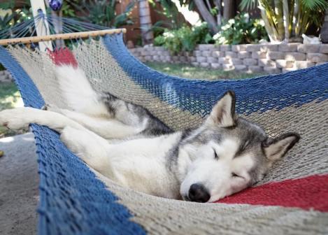 husky in hammock.jpg