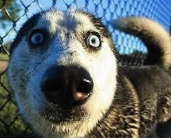 scared husky.jpeg