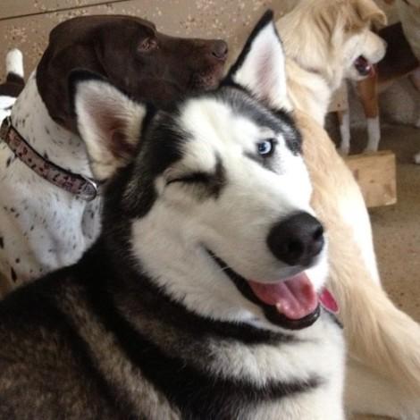 winking husky.jpg